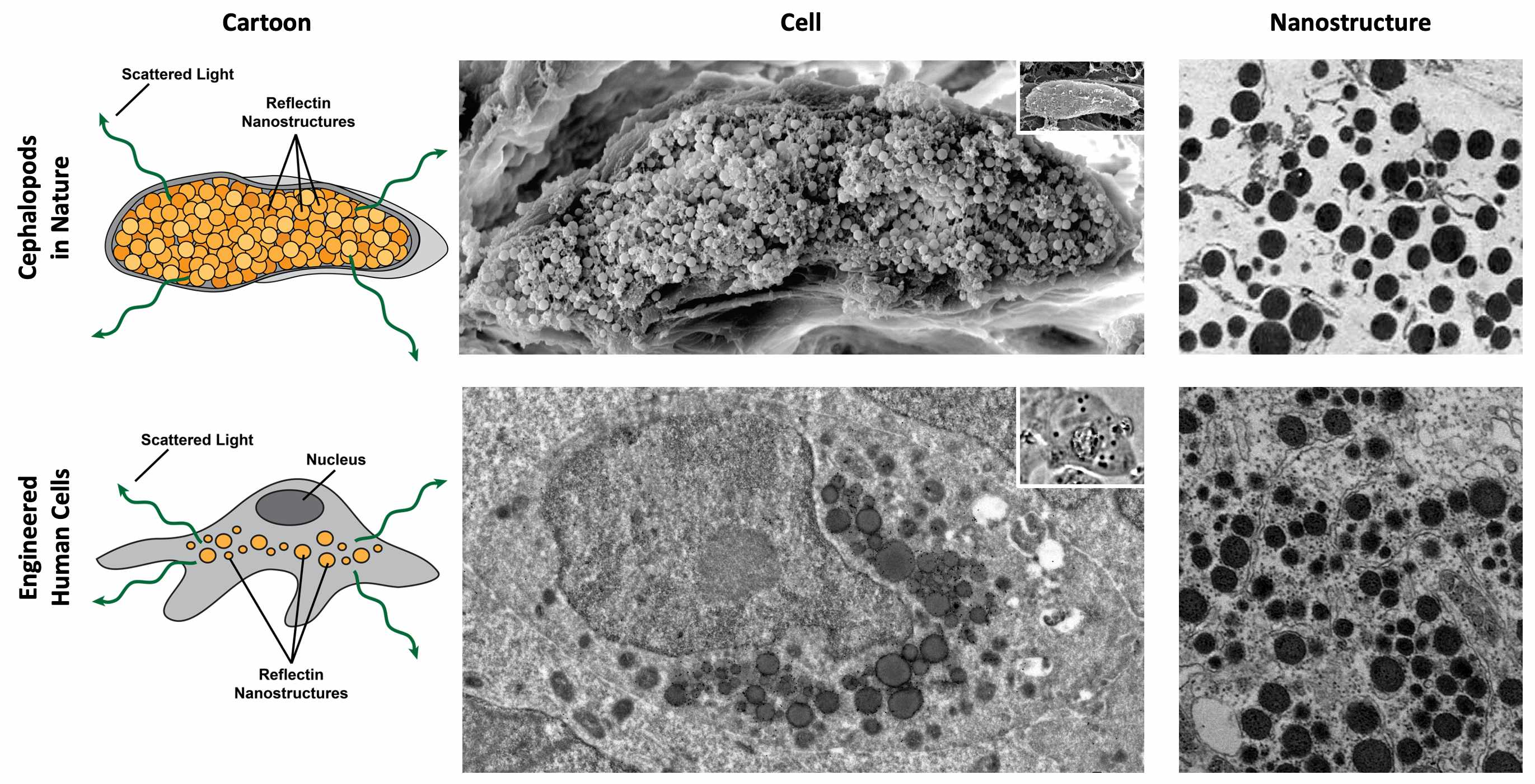 A comparison of the reflectin-based nanostructures in cuttlefish leucophores and the engineered human cells.